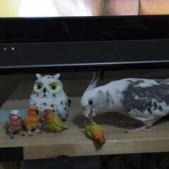 鳥/コナン/オカメインコのコナン/オカメインコ/インコ/フォロー大歓迎/... ボタンインコだけ何度も骨折してるよ🤷🏻…