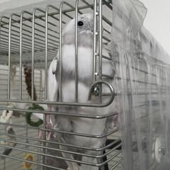 鳥/小鳥/ことり/インコ/オカメインコ はじっこにきてナデナデあぴーるするぼく。