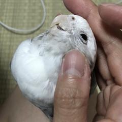 鳥/小鳥/インコ/オカメインコ なでなでして〜