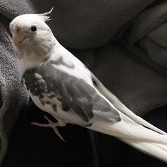コナン/鳥/インコ/オカメインコ/フォロー大歓迎/ペット 膝の上に鎮座。 コタツ布団にくるまれたく…
