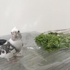 インコ/鳥/小鳥/豆苗/オカメインコ かーちゃんがワイルドすぎでこまってます。