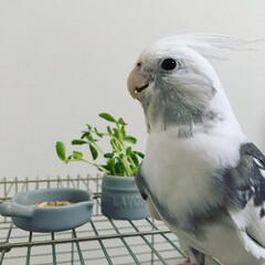 鳥/インコ/オカメインコ/dish/お皿/セリア/... セリアのスキレット風のお皿です。 直径6…