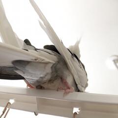 鳥/コナン/オカメインコのコナン/インコ/オカメインコ/フォロー大歓迎/... モフ尻🥰 たまらない・・・