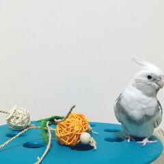 鳥/コナン/オカメインコ/インコ/オカメインコのコナン/フォロー大歓迎 買ったおもちゃは翌日に破壊。 すごいだろ…