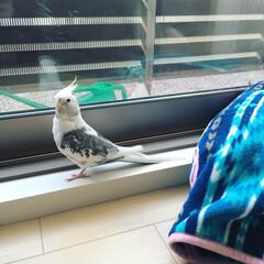 オカメインコ/インコ/ペット/コナン/鳥 窓辺で日向ぼっこ🌞 午後から雨みたい😩
