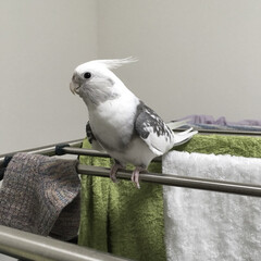 インコ/鳥/小鳥/オカメインコ/洗濯 いつも洗濯物干すのを監視しにきます。