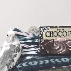 MEIJIザチョコレート/チョコパイ/チョコ/チョコレート/オカメインコのコナン/鳥/... かーちゃんがめるてぃーきっすたべおわって…