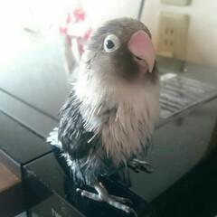 キメ顔/水浴び 我が家のボタンインコの水浴び後のベストシ…