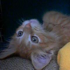 メインクーン/子猫 可愛いってわかってやってます