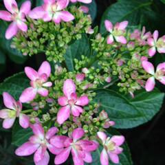 紫陽花 我が家の紫陽花🌸