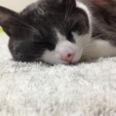 脱走猫/ネコお風呂に入る/疲れて爆睡/おデブ猫 お風呂嫌いな子ですが…洗いました٩(^‿…