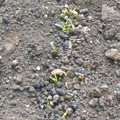 嬉しい/種/ほうれん草/小さな畑 おはようございます☀ 5日前に蒔いたほう…