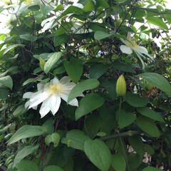 花のあるくらし/クレマチス/ガーデニング/春のフォト投稿キャンペーン クレマチスが今年も咲き始めました!確か3…
