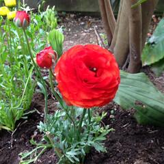 花/ラナンキュラス/春 赤いラナンキュラス🌸 好きな花のひとつな…
