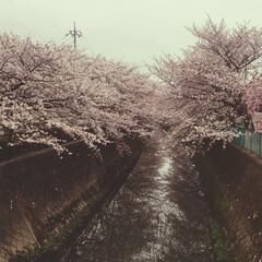 卒園式/桜/暮らし 本日は子どもの卒園式。開催できてよかった…