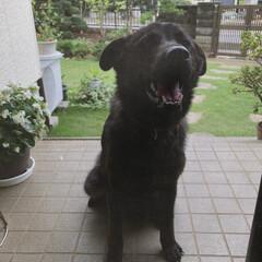 ペット/犬/愛犬/猛暑 (玄関の網戸前で…) 暑いから僕もいれて…