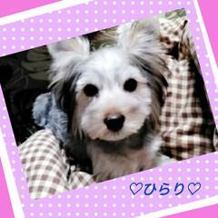 MIX犬 シュナ×ヨーキーMIXのひらりです。