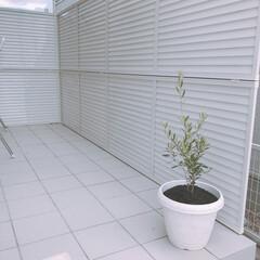 観葉植物/オリーブ/目隠しフェンス/目隠し/外構/庭/... タイルデッキ♡ オリーブは育てやすいので…