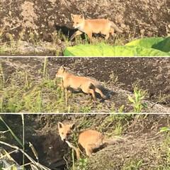 野生動物 キタキツネの子供と、銀狐 小狐可愛かったー