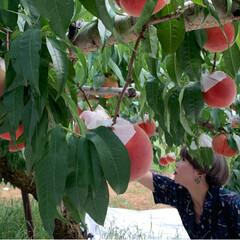 桃狩り 母を連れて桃狩りに行ってきました。 娘2…