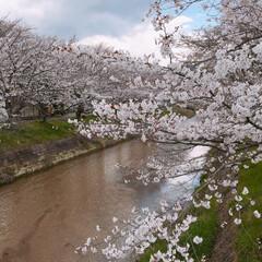 お花見散策/お花見/桜/春の一枚 桜の季節になりました。 毎年桜の時期は楽…