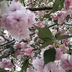 個性/写真の撮り方/写真は難しい/桜/開花/散歩/... 🌸先週の遊び🌸 自然を満喫しちゃおう♫ …(2枚目)