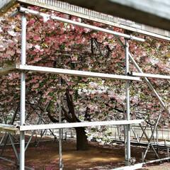 個性/写真の撮り方/写真は難しい/桜/開花/散歩/... 🌸先週の遊び🌸 自然を満喫しちゃおう♫ …(4枚目)
