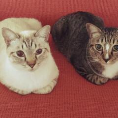 シンクロ/仲良し/ペット/猫 うちの子、 いつも羨ましいほど仲良しの兄…(1枚目)