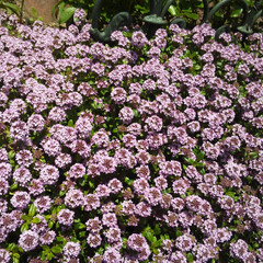ガーデン 春のジャコウソウ いい香り