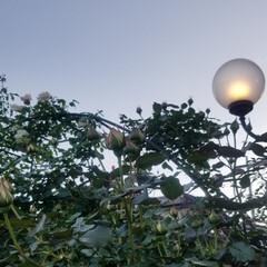 散歩/ガーデン/風景/暮らし つぼみたっくさん❤️①