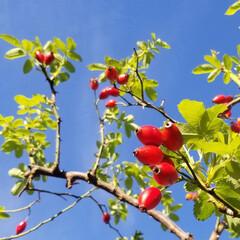 薔薇/ローズヒップ/ガーデン/空/秋 みのりの秋