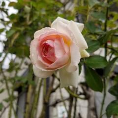 ガーデン 秋の庭…薔薇もあと少し(2枚目)