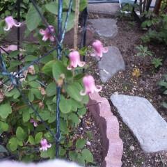 ガーデン 我が家のクレマチスたち あまりの暑さに今…(2枚目)