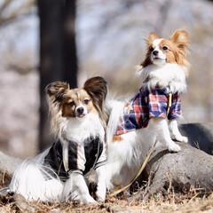 パピヨン/LIMIAペット同好会/ペット/ペット仲間募集/犬/わんこ同好会/... 2ワンコに癒される毎日です ヤンチャ兄妹…