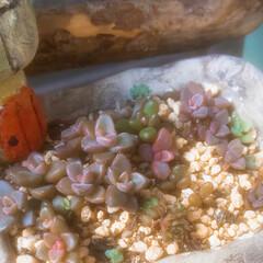 リメ缶/多肉の赤ちゃん/多肉植物のある暮らし/ハンドメイド/玄関/住まい/... ①ビョーンって伸びた多肉ちゃん     …(2枚目)