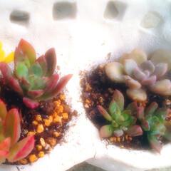 植木鉢/多肉植物のある暮らし/ハンドメイド/雑貨/多肉植物 棚の次は多肉ちゃんを 植える鉢を作成 つ…