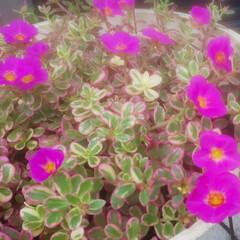 庭づくり/ポーチュラカ 花が沢山咲いてきた 可愛い (*º▿º*)