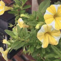 夏のガーデニング/花/ペチュニア/ソーラーライト/夏の花 うちのペチュニアさん その奥は、ソーラー…