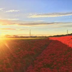 曼珠沙華/彼岸花/過去写真/花/お出かけ/秋/... これは去年の彼岸花の風景 真っ赤な絨毯 …