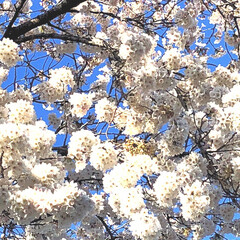 春ですね/もうすぐ満開/青空/桜🌸/フォロー大歓迎/風景/... 朝、会社の駐車場にて 青空の下、桜🌸明日…