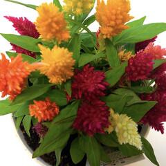 癒される/元気になれる/鮮やかな色合い/ケイトウ/令和元年フォト投稿キャンペーン/おすすめアイテム/... 鮮やかな色合いのケイトウ💐 いつもの花屋…