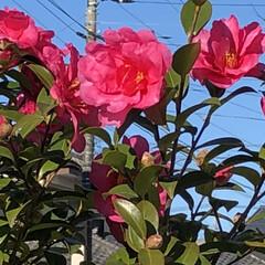 花/鮮やか/椿🌺/庭/フォロー大歓迎/リミとも部 こんにちは😃 庭の椿🌺が咲いていました🎶 (2枚目)