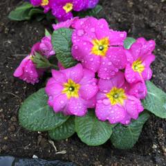 花/小さな花壇/お気に入り/ジュリアン/ピンク/おすすめアイテム/... 我が家の門灯の下 風が強く寒い中、小さな…