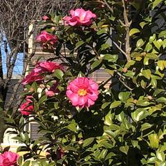 花/鮮やか/椿🌺/庭/フォロー大歓迎/リミとも部 こんにちは😃 庭の椿🌺が咲いていました🎶 (1枚目)
