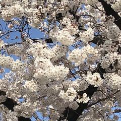満開/桜🌸/フォロー大歓迎/風景/春の一枚 今朝の会社の桜🌸満開かな☺️