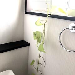 プランター/観葉植物/伸びる/ポトス/雑貨/インテリア/... おはようございます(ˊᗜˋ)  我が家の…