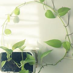 リミとも部家事フォト/リミとも部/ポトス/観葉植物/インテリア/100均/... ポトス🌱 伸びたので新しい鉢へ増やします…