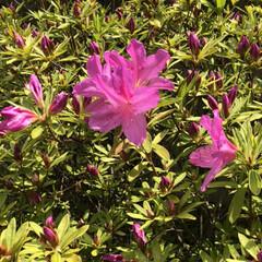 ツツジ/庭/春のフォト投稿キャンペーン/令和の一枚/フォロー大歓迎/GW/... うちの庭のツツジが咲いてきました🎶 これ…(1枚目)