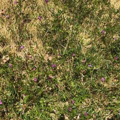 これ何??/大量/庭/春のフォト投稿キャンペーン/フォロー大歓迎/春/... 芝生の上に、大量‼️😱 これは何という雑…