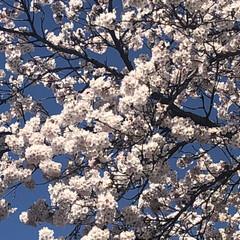 職場/満開/桜🌸 職場の桜🌸満開🌸 桜が大好きです☺️
